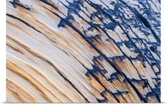 Poster Print Wall Art Print entitled The bark and wood of the Great Basin Bristlecone Pine (Pinus longaeva), None