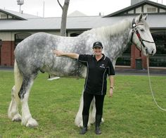 """This is Noddy, the current World's Tallest Horse record holder. Noddy is a towering 20.2 hands at the withers; or 6'8"""" tall. According to his owners"""