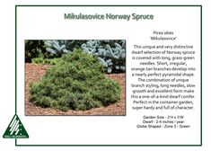 Mikulasovice Norway Spruce the unique and very distinctive dwarf conifer,Picea abies 'Mikulosovice'is covered with long, grass-green needles. Short, irregular, orange-tan branches develop into a…