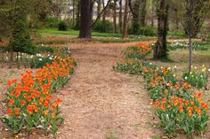 A garden path with tulips at the Bartlett Arboretum by Wichita, KS.