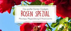 Die Geschichte der Rose - Rosen Spezial auf Garten Gadgets