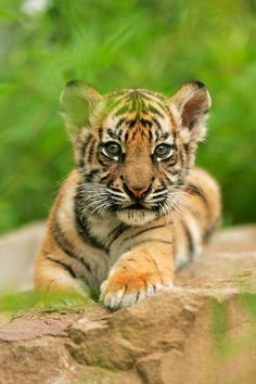 Cry of the Sumatran tiger as experts say animal is close to extinction – Pia Matheis - Baby Animals Baby Animals Pictures, Animals And Pets, Funny Animals, Wild Animals, Big Cats, Cats And Kittens, Cute Cats, Majestic Animals, Animals Beautiful