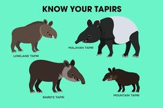 Know Your Tapirs by PepomintNarwhal