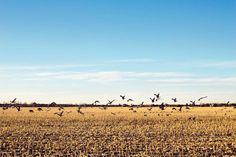 About 80 percent of the world's sandhill crane population descends upon Nebraska's Platte River duri... - Provided by Reader's Digest (Association) Canada ULC