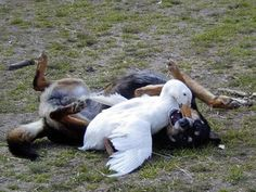 'Wait...i forgot safe-word!!' - Duck...?