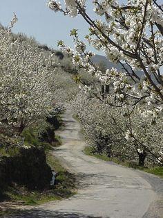 Cerezos en flor  Valle del  Jerte  Cáceres  Spain