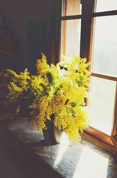 My favorite spring flower...March Acacias smell like Heaven.