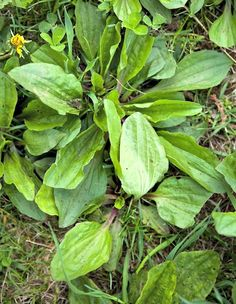 How to  Soothe the Itch of Insect Bites with Plantain.  Here's a quick link to the post:  http://herbsandoilshub.com/soothe-the-itch-of-insect-bites-with-plantain/