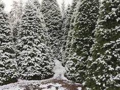 12 Best Christmas Tree Farm Spots Near NYC To Visit This Winter #barnpros #barns #barn #prefabbarns #barnhomes #barnkits #barnswithapartments #barnbuilding #barnhouses #barnkit Prefab Barns, Barn Kits, Cool Christmas Trees, Farms, Nyc, Winter, Outdoor, Winter Time, Outdoors
