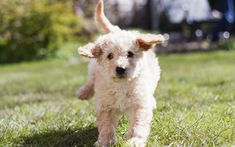 Download wallpapers labradoodle, white curly puppy, small dog, cute animals, pets