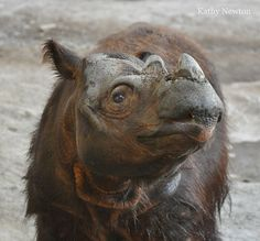 Sumatran rhino - the most endangered large mammal on earth!