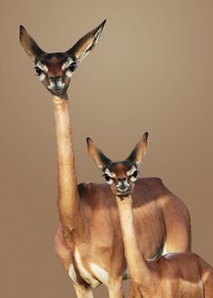 Mother and baby Gerenuk The Gerenuk, Litocranius walleri (Bovidae), is a small, delicate antelope which lives in the remote desert areas of Northern Kenya and Southern Ethiopia. The elongated neck allows it to browse higher up than other antelopes its size. Gerenuks can often be seen feeding erect – standing on their hind legs. Incredibly, the gerenuk is believed to be independent of free water. This is a great advantage in its semi-arid habitat, as the gerenuk therefore does not have to ...