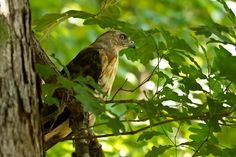 Red-Tailed Hawk by Lorraine Hudgins, via 500px