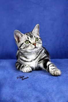 American Shorthair - Different type of cats Catsincare.com