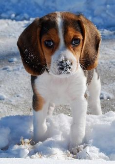 Just a too sweet Beagle puppy