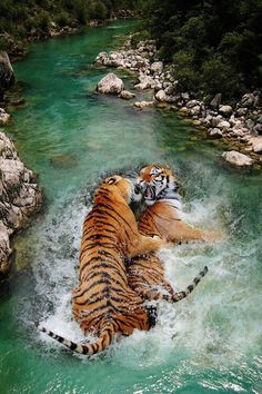 Best of both worlds: beautiful water and tigers