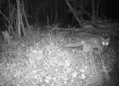 Fox by night #wildlife - http://anenglishwood.com/?p=9511