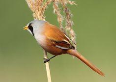 Bearded Tit Panurus biarmicus by Howards Flickr Birdspot. on Flickr.