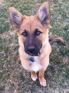 German Shepherd/Golden Retriever mix.