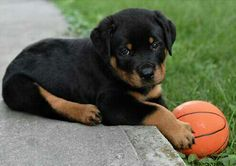 Knox, the Rottweiler puppy