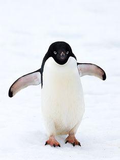 David Cook Adelie Penguin