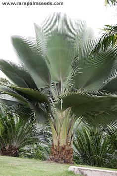 Copernicia fallaensis - buy seeds at rarepalmseeds.com