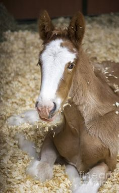 Clydesdale foal.