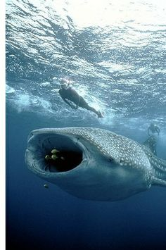 Swimming with plankton eating whale sharks is so on my bucket list