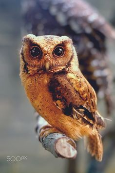 """Wild at Heart by Sham Jolimie on 500px """"Owls may be cute but they are not meant to be pets. Owls are wild animals."""""""
