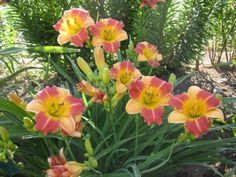 Lilies and daylilies on the Canadian prairies. Canadian Prairies, Garden Plants, Blossoms, Lily, Flowers, Bloomer, Lilies, Royal Icing Flowers, Flower