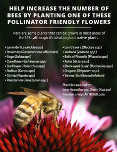 Free seeds to help feed a bee (and butterflies) Honey bees pollinate many of the foods we love, but often bees can't find enough food for...