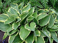 Dividing a Hosta -- project for next week!