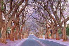 Jacaranda trees in Pretoria, South Africa