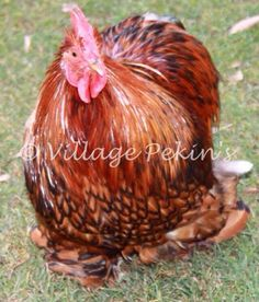 Gold Laced Pekin