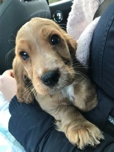 """Determine additional relevant information on """"spaniel puppies"""". Take a look at our internet site. Perro Cocker Spaniel, Cocker Spaniel Anglais, Golden Cocker Spaniel, Spaniel Dog, Spaniels, Baby Puppies, Cute Puppies, Cute Dogs, Dogs And Puppies"""