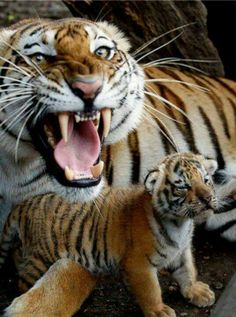 Mother protecting her cub ts