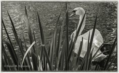 #swan in black and white