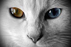 目の中に【宇宙】を持つ神秘の猫ちゃん達☆オッドアイに引き込まれそう!
