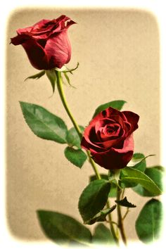 Photograph Vintage Rose by Martha Di Giovanni on 500px