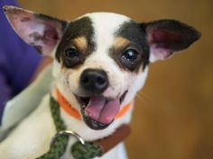 Adopt Cooper, a lovely 6 years Dog available for adoption at Petango.com.  Cooper is a Chihuahua, Short Coat / Mix and is available at the National Mill Dog Rescue in Colorado Springs, Co. www.milldogrescue... #adoptdontshop #puppymilldog #rescue #adoptyourfriendtoday