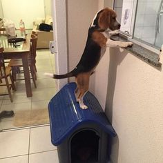 Me hungry give me food ----- Also, click on the image to check out our exclusive… #beagle