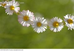 making daisy chains Happy Flowers, Wild Flowers, Beautiful Flowers, Beautiful Things, Daisy Love, Daisy Girl, Daisy Daisy, Driving Miss Daisy, Bellis Perennis
