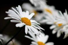 Poster & Download: Natur Chamomile schwarz Weiß Gelb Sommer Blumen Kategorien: landschaften, nature, chamomile, black, white, yellow, summer, flowers, flower, petal, closeup, center, bloom, of, the, field, daisies, sunny, day, petals, daisy, sheet