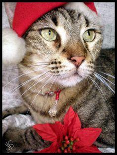 Photo of christmas cats for fans of Christmas 9351845 Christmas Kitten, Christmas Animals, Merry Christmas, Christmas Photos, All Things Christmas, Beautiful Kittens, Santa's Little Helper, Cat Hat, Halloween Cat