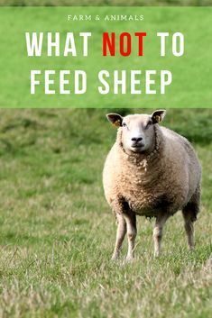 Baby Sheep, Cute Sheep, Sheep And Lamb, Sheep Fence, Sheep Farm, Raising Farm Animals, Raising Goats, Wildlife Photography, Animal Photography