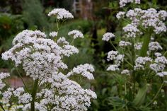 If you plant to grow Valerian from seeds outdoors, then sow at the start of spring, and lightly cover the seeds. Description from gardenershq.com. I searched for this on bing.com/images