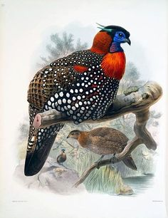 Western Tragopan (Tragopan melanocephalus) from A monograph of the Phasianidae, or, Family of the pheasants (1872), by Daniel G. Elliot