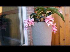 Medinilla Magnifica: Plant Care