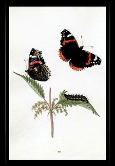 """Red Admiral Butterfly"" {Vanessa atalanta} by Katherine Plymley."