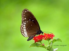 Butterfly (Euploea Core)